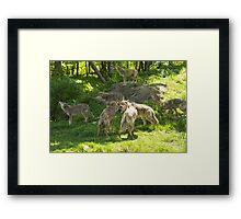 A pack of howling coyotes Framed Print