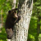 A Black Bear cub in a tree by Josef Pittner