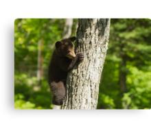 A Black Bear cub in a tree Canvas Print