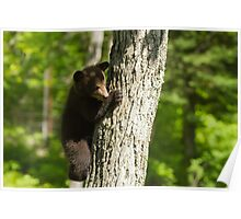 A Black Bear cub in a tree Poster