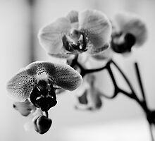 Orchid by lurraren