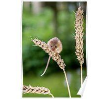Harvest Mice 082 Poster