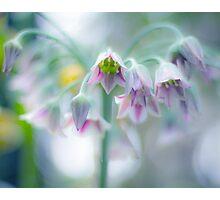 agapanthus pastels Photographic Print