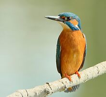Male kingfisher by Peter Wiggerman