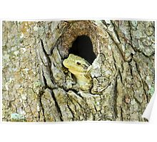 Cuban Tree Frog (Osteopilus septentrionalis) Poster
