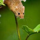 Harvest Mice 112 by Alan E Taylor