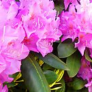 """""""Lavender Rhododendron 2"""" by Kevin J Cooper"""