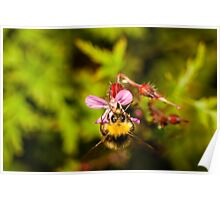 small bumblebee on a pink roberts herb flower Poster