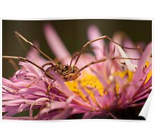 Opilio on top of a aster flower Poster