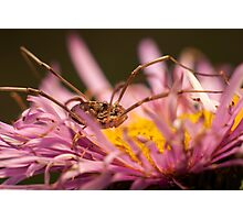 Opilio on top of a aster flower Photographic Print