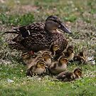 Mama Duck by Heather Friedman