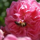 Honey Bee Collecting Pollen On A Pink Rose by taiche