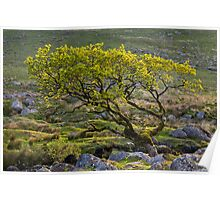 Lone tree on Dartmoor Poster