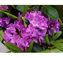 Beautiful Rhododendron Blossoms Photographic Print