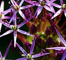 Starry Allium Abstract by Debbie Oppermann