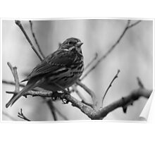 Song Sparrow on a Branch Poster