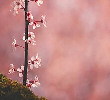 Shades of Pink by Tracy Friesen