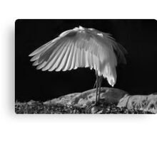 Preening Great Egret  Canvas Print