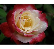 Rose with Raindrops Original Photograph  Photographic Print