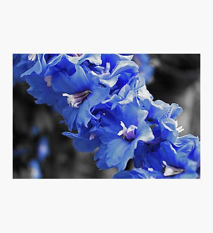 Touch of Blue Delphinium Photographic Print