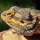 Central Bearded Dragon by Chris  Randall