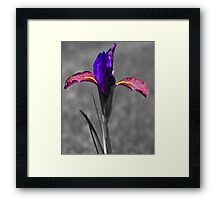 Eye of the Tiger Dutch Iris Framed Print