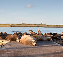 Sea Lion Retreat by Jim Stiles