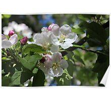 Apple Blossoms I  2014 Poster