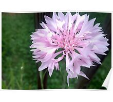 Delicate light pink flower Poster