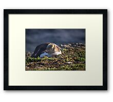 Yellow Eyed Penguin Framed Print