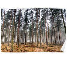 Pine Trees in Morning Fog. Poster