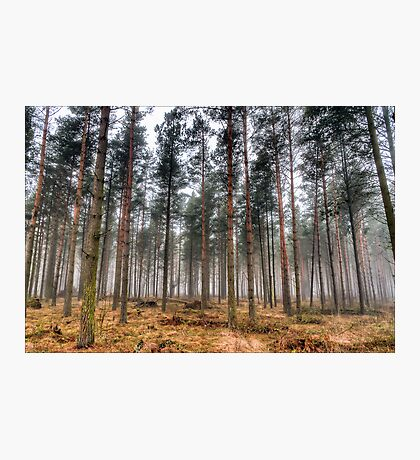 Pine Trees in Morning Fog. Photographic Print