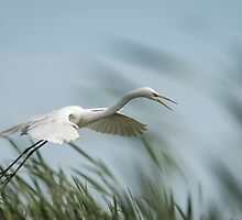 White Egret 2016-2 by Thomas Young