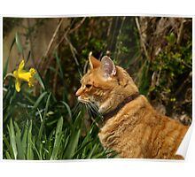 Ginger cat in garden with daffodil Poster