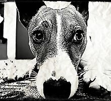 Jack Russell Terrier by Christine Photography