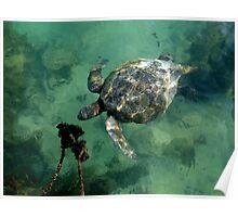 Galapagos Green Sea Turtle Poster
