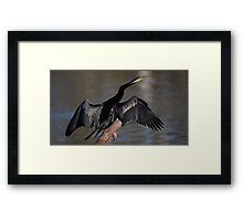 Australasian darter (male) Framed Print