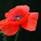 Red Common Poppy by AnnDixon