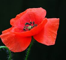 Red Common Poppy by AnnDixon