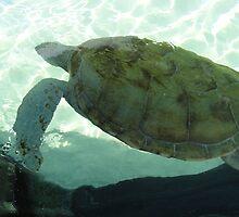 Turtle by maureenv