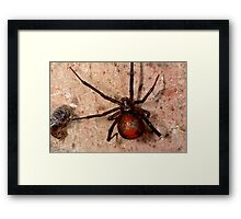 The infamous Aussie Redback Spider (1) Framed Print