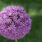 Giant Allium Globemaster A Purple Beauty by daphsam