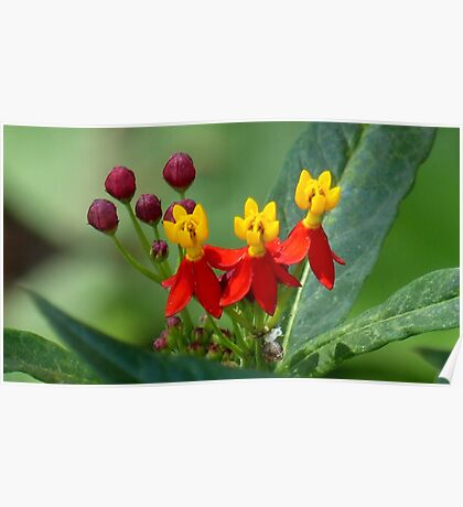 Mexican Butterfly Weed Poster