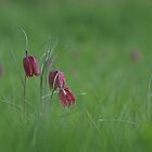 Snakes head fritillary in bloom by miradorpictures