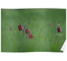 Snakes head fritillary in bloom Poster