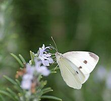 Alexandra Butterfly by Dean Osborne