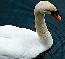 Swan by Hayley Musson