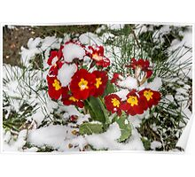 Red Winter flowers in the snow Poster