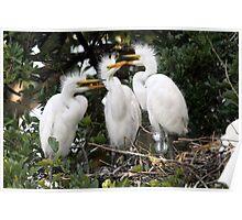 Trio of Egret Chicks Poster