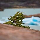 Patagonian Tree by Dave Hare